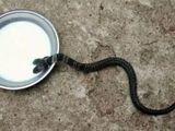 Video-Hot - Phát hiện rắn hổ đất hai đầu, dân làng không bàn giao cho cứu hộ vì cho là rắn thiêng
