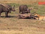 Video-Hot - Đang ung dung chuẩn bị chén một bữa thịnh soạn, sư tử phải bỏ chạy