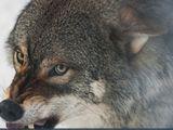 """Video: """"Quỷ núi"""" đơn độc chống lại đôi sói xám giữa sườn núi tuyết"""