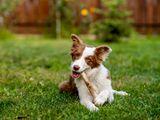 Video-Hot - Video: Chú chó thông minh, học được cách cho bò ăn cỏ