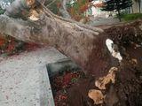 Lại thêm một cây phượng cổ thụ trong trường học bật gốc