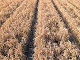 Video: Trung Quốc trồng hơn 300 ha lúa trên sa mạc