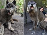 Video-Hot - Video: Kích thước khổng lồ của sinh vật lai giữa sói xám, chó chăn cừu Đức và Husky Siberia