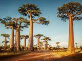 Video-Hot - Video: Mục sở thị những cây bao báp khổng lồ 800 tuổi