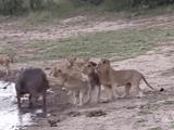 Video-Hot - Video: Bị bầy sư tử cắn xé, trâu rừng có màn lật kèo ngoạn mục nhờ quyết định khôn ngoan