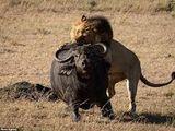 Video-Hot - Video: Cuộc chiến sinh tử giữa trâu rừng gãy chân và 3 sư tử đực, kỳ tích có xuất hiện?