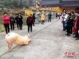 Clip chú lợn quỳ gối hàng tiếng đồng hồ trước cửa chùa khi bị bắt tới lò mổ khiến dân mạng