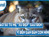 Video: Báo sư tử mẹ