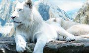 Giống sư tử trắng mắt xanh cực hiếm trở thành con mồi cho thợ săn