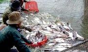Thiếu liên kết, doanh nghiệp và nông dân nuôi cá tra đều