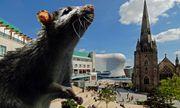 """Chuột khổng lồ """"xâm lược"""" Anh và Thụy Điển"""