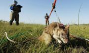 Rùng mình cảnh tượng dùng chuột khổng lồ để rà phá bom mìn