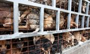 Nạn trộm chó ghê rợn ở Việt Nam lên truyền thông Anh