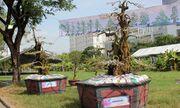Cận cảnh cặp khế kiểng 300 tuổi rao bán giá 12 tỷ tại chợ hoa TP. Hồ Chí Minh