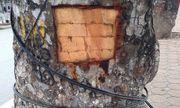 Hà Nội: Hàng chục cây xà cừ trên đường Láng bị