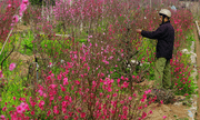 Quận Tây Hồ xin trồng hoa đào dưới đường điện cao thế