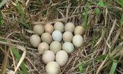 Đem ổ trứng từ rừng về cho gà mái ấp, người nông dân bàng hoàng khi thấy kết quả