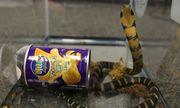 24h qua ảnh: Rắn hổ mang chúa chui ra từ hộp khoai tây ở Mỹ