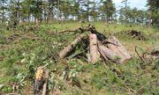 Bắt nhóm đối tượng chặt hạ rừng thông để chiếm đất bán