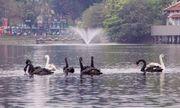 Vì sao 6 cặp thiên nga ở hồ Gươm