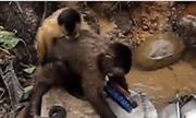 Video: Chú khỉ