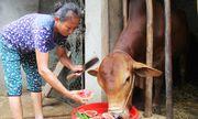 'Trời' không thương, nông dân Nghệ An ứa nước mắt đem dưa hấu cho bò ăn