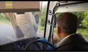 Video: Voi chặn đầu xe buýt cướp chuối, tài xế sợ tái mặt