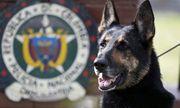 Băng đảng ma túy treo thưởng hơn 1,5 tỷ để truy giết một chú chó nghiệp vụ