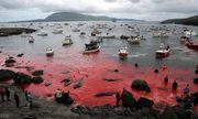 Vùng biển Đan Mạch lại nhuộm đỏ trong mùa thảm sát cả voi