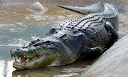 Mỹ: Người phụ nữ bị cá sấu cắn tử vong khi đang dắt chó đi dạo