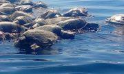 Video: Xót xa hàng trăm con rùa biển Golfinas chết trôi dọc theo bờ biển