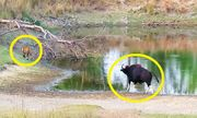 Cuộc chiến sinh tồn: Bò tót to gan, truy đuổi khiến