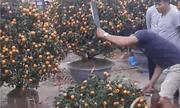 Video: Xót xa người dân tự cầm dao chặt phá đào, quất vì bị ép giá
