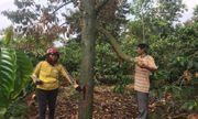 Đắk Lắk: Vườn sầu riêng hàng trăm triệu bị phá nghi vì không đóng tiền làm đường