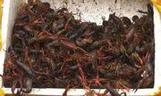 Rộ tin tôm hùm đất được bán tràn lan, Cục Quản lý thị trường TP. Hồ Chí Minh chỉ đạo khẩn