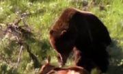 Video: Vì bảo vệ con, gấu mẹ bất lực nhìn đàn sói hoang cướp mất miếng mồi