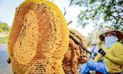 Từ ngày mai (10/6), hành vi lấy mật ong rừng sẽ bị xử phạt tới 3 triệu đồng