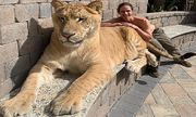Video: Sư tử lai hổ nặng hơn 3 tạ thảnh thơi đi dạo cùng 2 người đàn ông