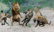 Video: Chiến thắng vinh quang 3 sư tử đực bị 30 con linh cẩu bao vây