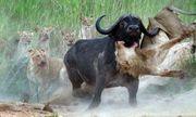 Video: Phục kích trâu rừng, sư tử bất ngờ nhận kết cục đau đớn