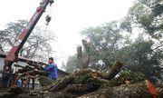 Chốt ngày bán đấu giá cây sưa quý từng được trả giá trăm tỷ ở Hà Nội