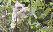 Video: Cận cảnh hai cá thể voọc đen má trắng bạch tạng hiếm gặp