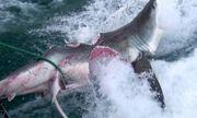 Cá mập khổng lồ bị tấn công, cắn gần đứt đôi thân