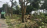 Hà Nội chuyển 100 cây hoa sữa lên bãi rác Nam Sơn: Người dân Tây Hồ nói gì?