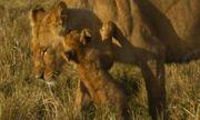 Sư tử bố ngủ quên khiến con suýt mất mạng dưới răng nanh của bầy chó hoang
