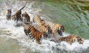 Bầy mãnh hổ Siberia lao xuống nước để săn mồi