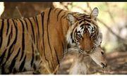 Video: Xâm phạm lãnh thổ, hổ Bengal bị đồng loại đánh cho nhừ tử