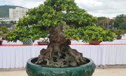 Sửng sốt cây ngâu khủng trị giá hơn 1 tỷ đồng tại Bình Định
