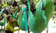 Kỳ lạ giống Bí đao khổng lồ độc nhất vô nhị tại Việt Nam