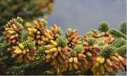 Cận cảnh cây thuốc giải độc mỗi năm chỉ cao thêm 1cm và mất 100 năm để trưởng thành
